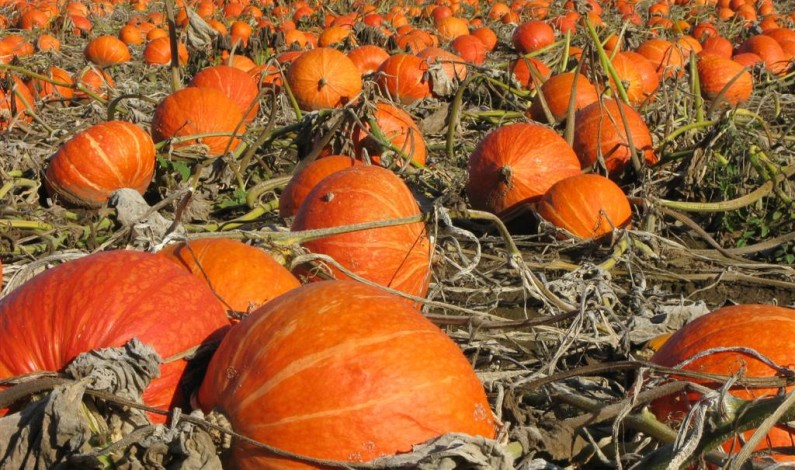 SCOTTSDALE PUMPKIN PATCHES (Oct. 1 to 30)